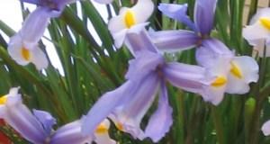 Iris © onlineflowergarden.com