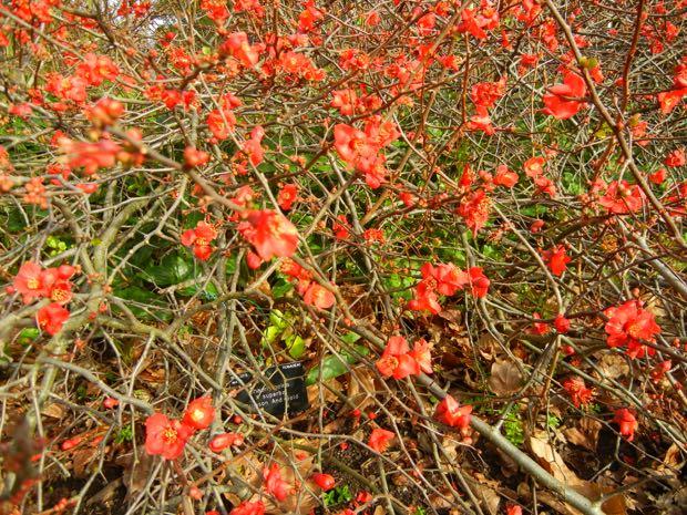 Rosaceae, Chaenomeles Superba, Crimson and Gold