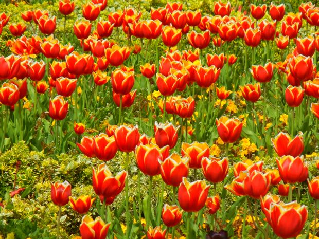 Tulips, Regent's Park
