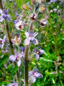 Delphinium Requienii closeup