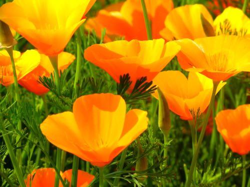 Eschscholzia California Poppy