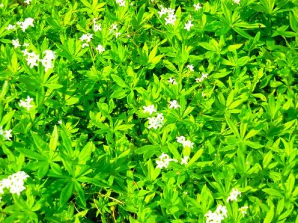 Woodruff, Asperula Odorata