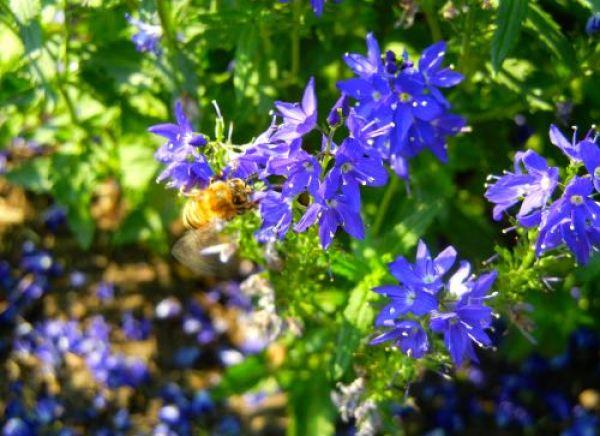 Veronica teucrium Royal Blue Kew Garden