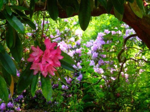 Kew Gardens, Rhododendron