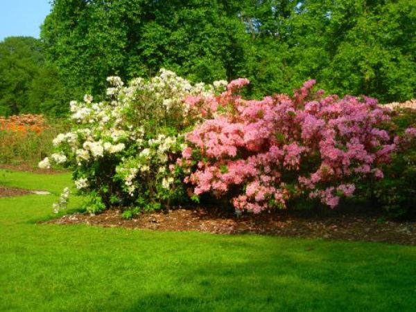 Spring Rhododendron