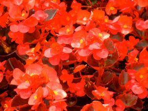 Begonia Sempreflorens Ascot Bronze