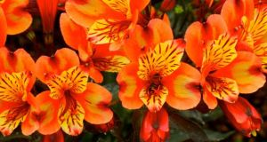 Alstroemeria - Indian Summer