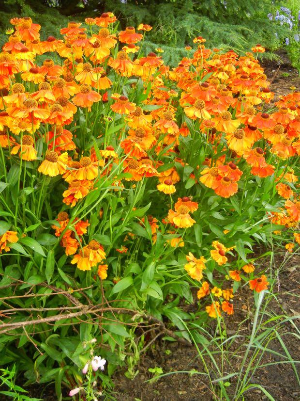 Helenium - Sahin's Early Flowerer