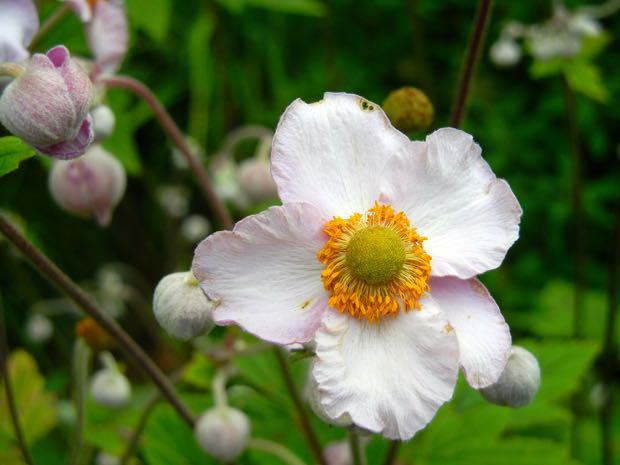Anemone - Honorine Jobert