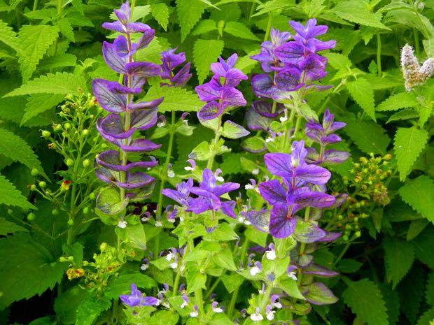 Salvia Viridis - Marble Arch Blue
