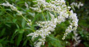Polygonaceae Persicaria alpina alpine knotweed