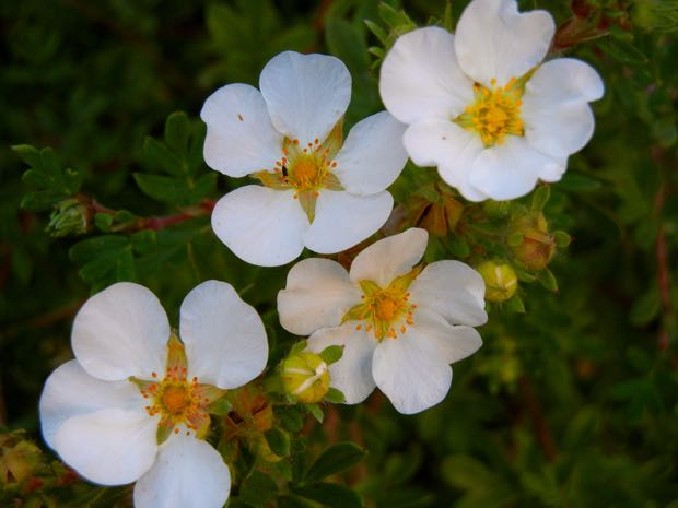 Rosaceae - Rosa Arvensis