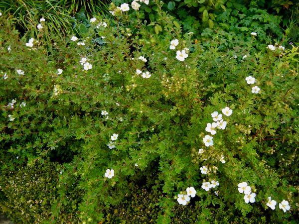 Dasiphora fruticosa 'Abbotswood'