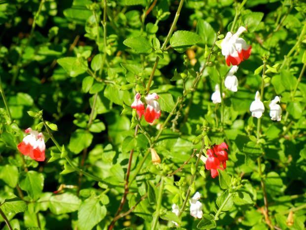 Sage Salvia Jamensis - Hot Lips