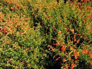 Zauschneria californica 'Dublin'
