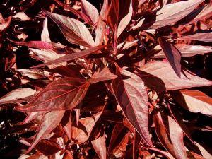Achyranthes lindenii