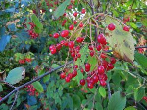 Viburnum setigerum © onlineflowergarden.com