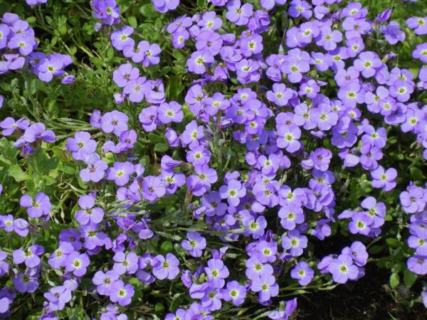Aubrieta 'Axcent Glacier Light Blue'