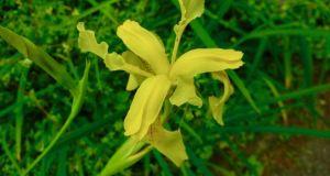 Iris wilsonii