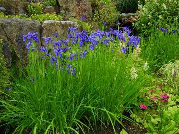 Iris bulleyana