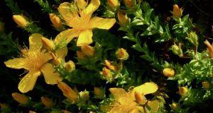 Hypericum olympicum
