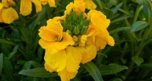 Erysimum cheiri 'Sunset Yellow'