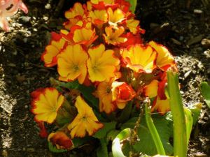 Primula 'Fire Dragon'