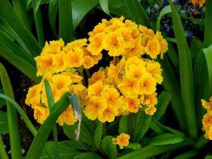 Primula 'Crescendo Orange'