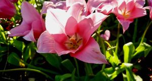 Tulipa 'China Pink'