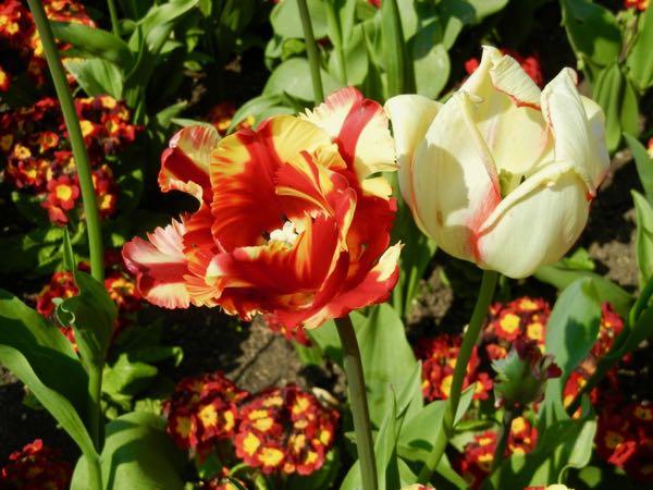 Tulipa 'Flaming Parrot'