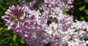 Syringa x hyacinthiflora 'Buffon'