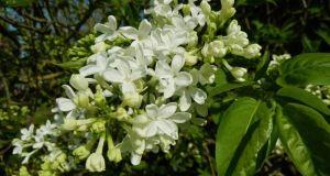 Syringa x hyacinthiflora 'The Bride'