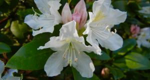 Rhododendron'Cunningham's White'