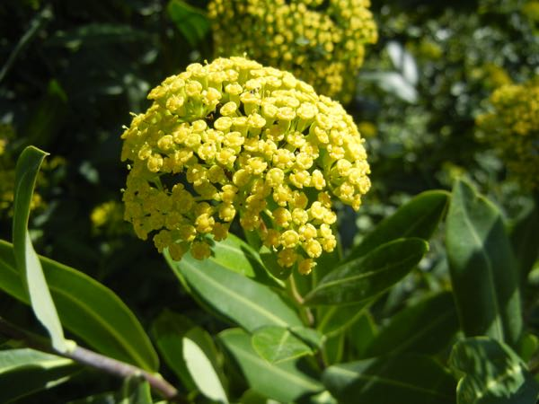 Bupleurum fruticosum © onlineflowergarden.com