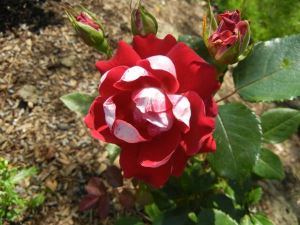 'Take it Easy' Rose