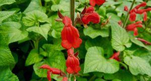 Salvia darcyi