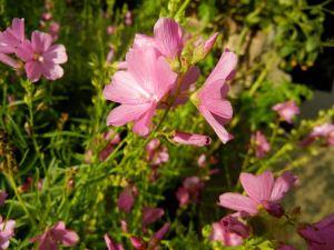Sidalcea malviflora 'Rose Queen' © onlineflowergarden.com
