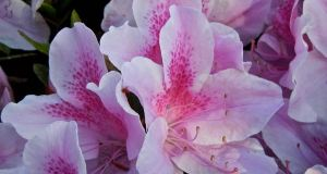 Azalea indica var. simsii
