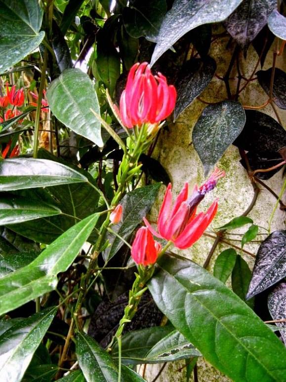 Pavonia multiflora
