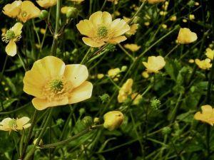 Ranunculus acris