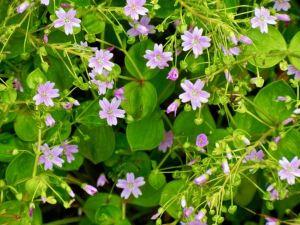 Claytonia sibirica, Pink Purselane