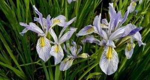 Iris missouriensis