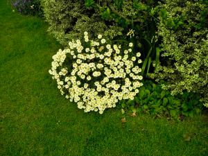 Argyranthemum frutescens 'Lemon'