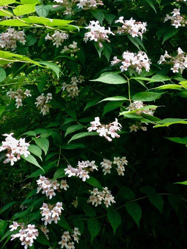 Linnaea amabilis