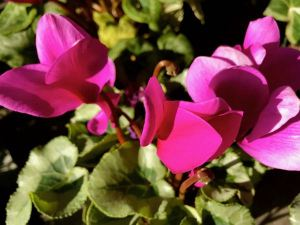 Cyclamen 'Winter Ice™ Purple'
