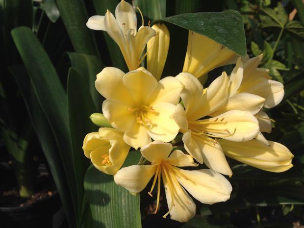 Clivia Miniata - Belgian Hybrid Yellow