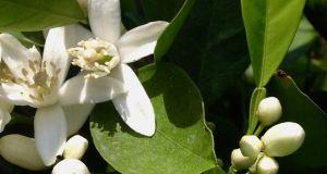 Citrus sinensis 'Cara Cara'