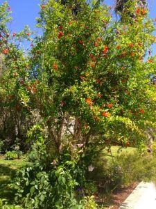 Punica granatum or Pomegranate