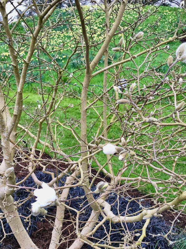 Magnolia x loebneri 'Dwarf No. 1'