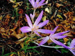 Colchicum variegatum
